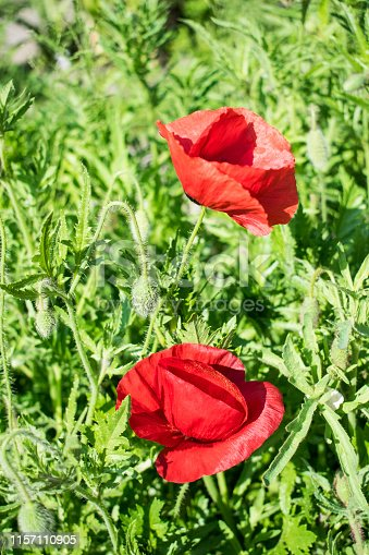Red poppy flower close up photo. Single bright flower with green blured background.