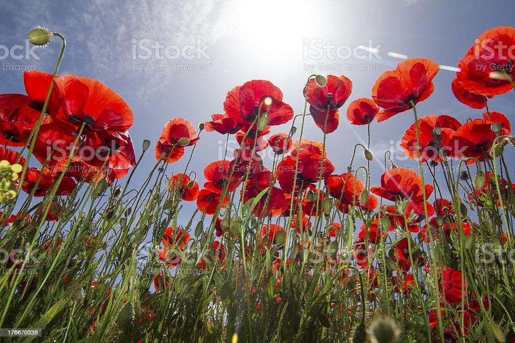 red poppy flower field in spring royalty-free stock photo