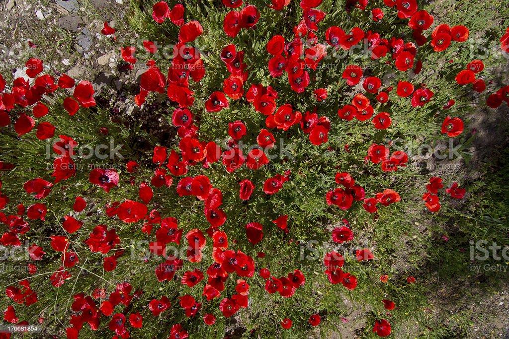 red poppy Campo de flores de primavera foto de stock libre de derechos