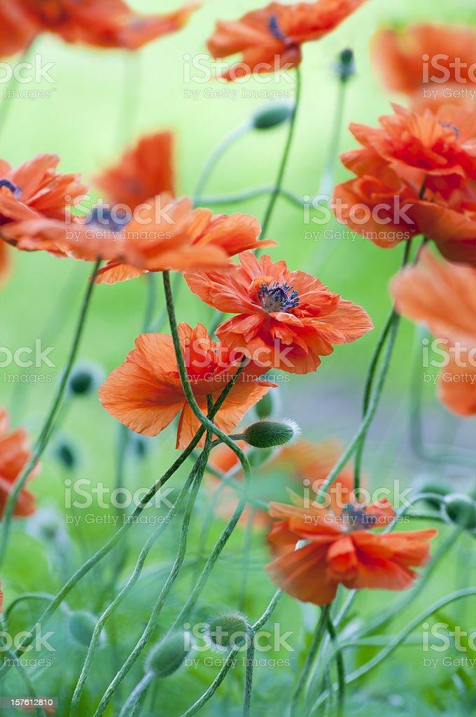Red poppy flower field - V stock photo