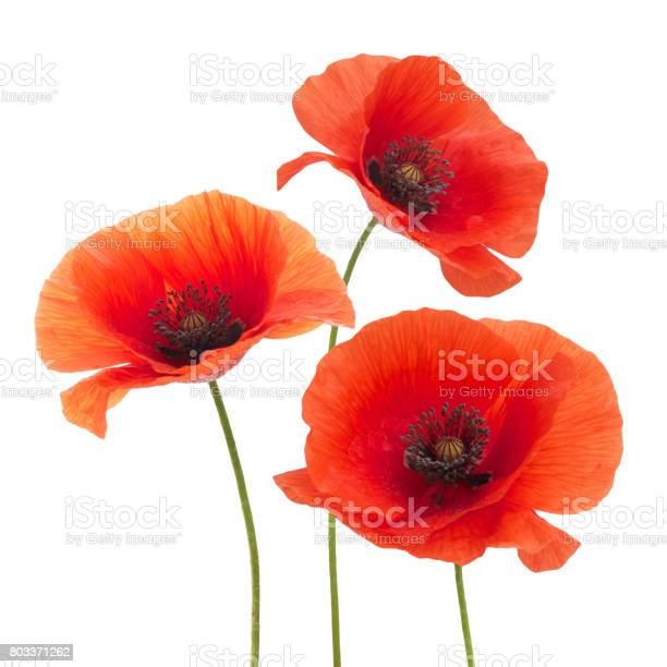 Red poppy flower isolated on a white picture id803371262?b=1&k=6&m=803371262&s=612x612&h=ed18dvfmrshn0ktdjj5f0dxh9ypj9y4knxxfe9bsera=