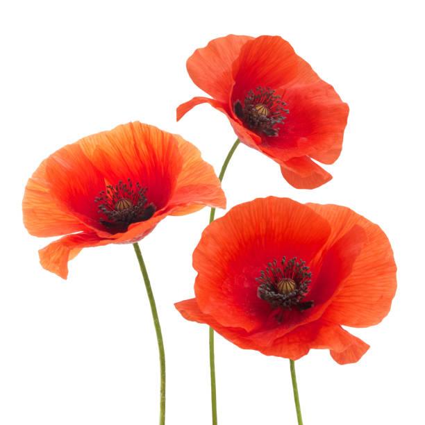 Red poppy flower isolated on a white picture id803371262?b=1&k=6&m=803371262&s=612x612&w=0&h=x7ff7uvdpvigzzhigmzikexsxmkfh vuf84xkc4likw=