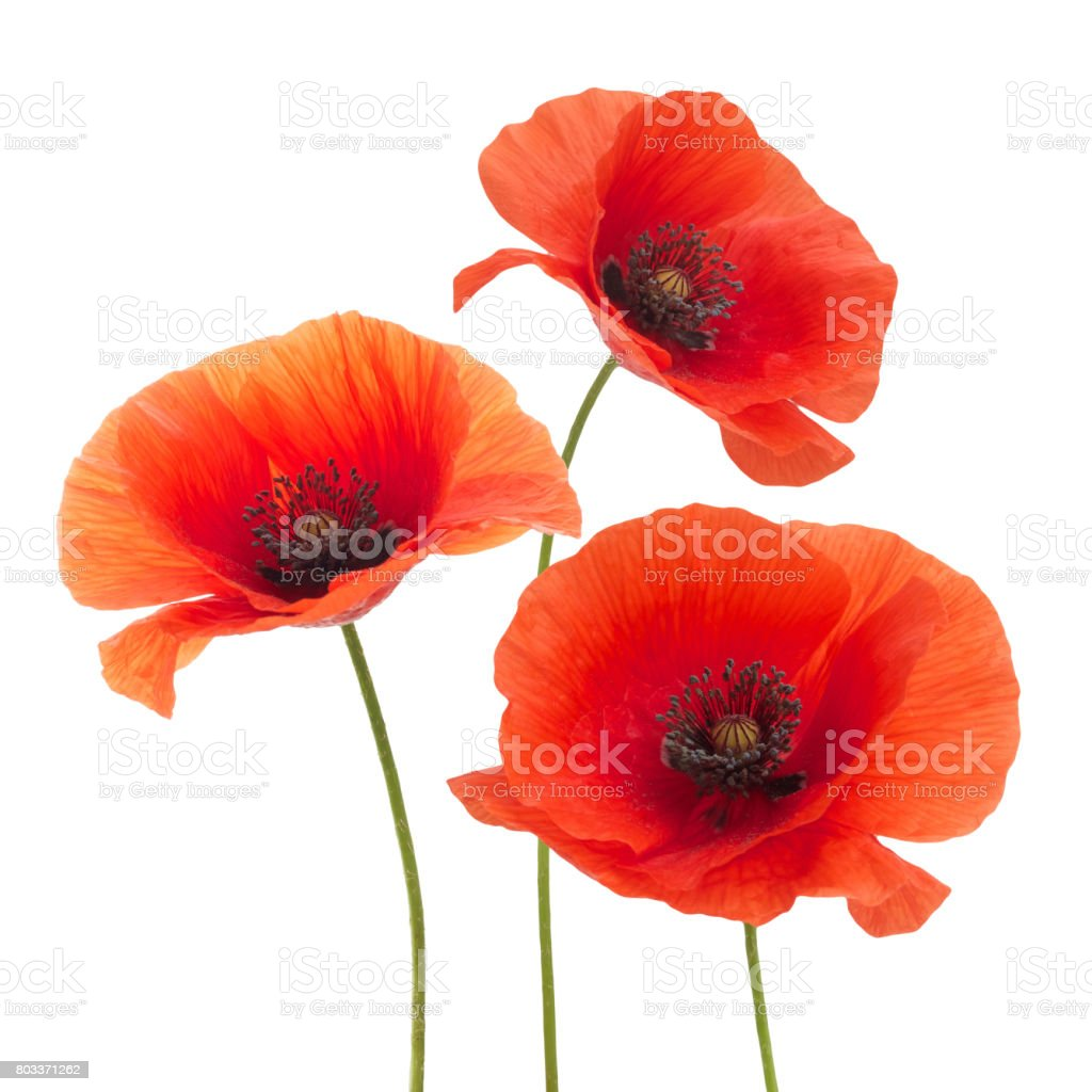 Red poppy flower isolated on a white stock photo