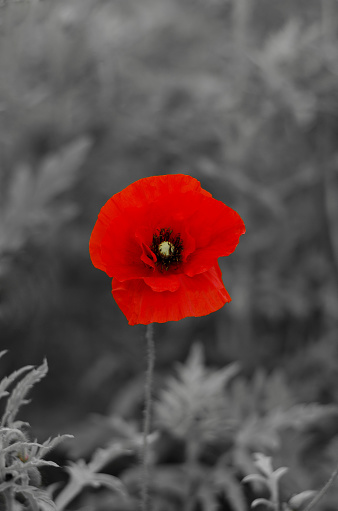 red wild poppy flower on a black and white background