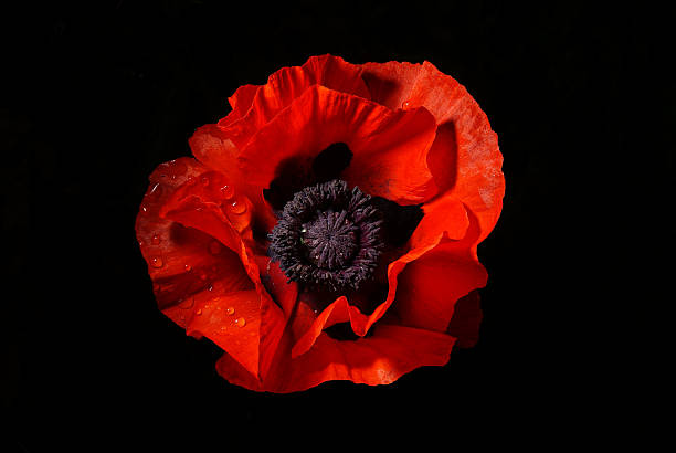 Royalty Free Single Red Poppy Pictures, Images and Stock ...