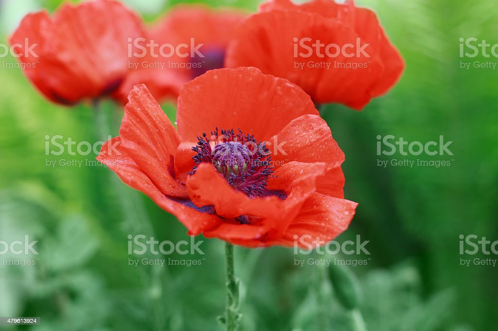 Red poppy flower Papaver, symbol of Remembrance or Poppy Day stock photo