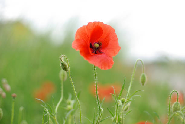 Roter Mohn Blume – Foto