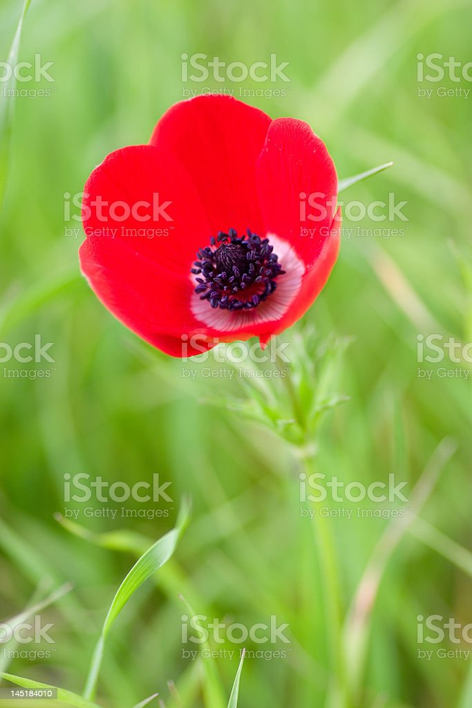 Red Poppy flower royalty-free stock photo
