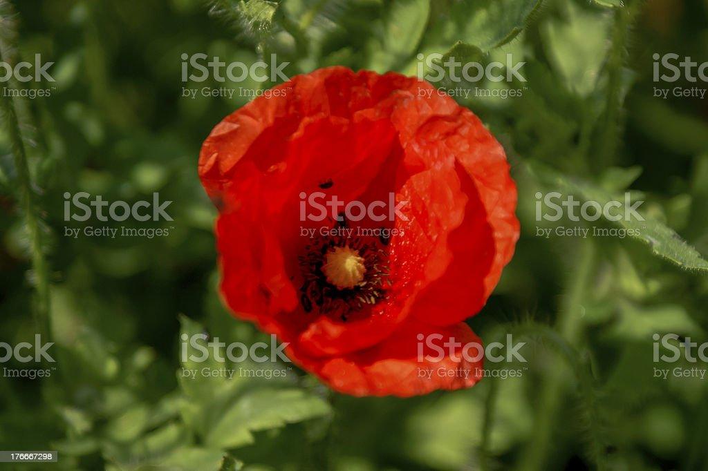 Red poppy flower royalty-free stock photo