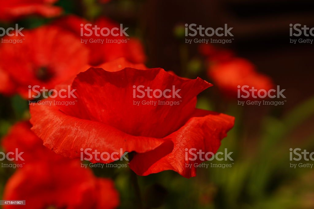 Red poppy flower. royalty-free stock photo