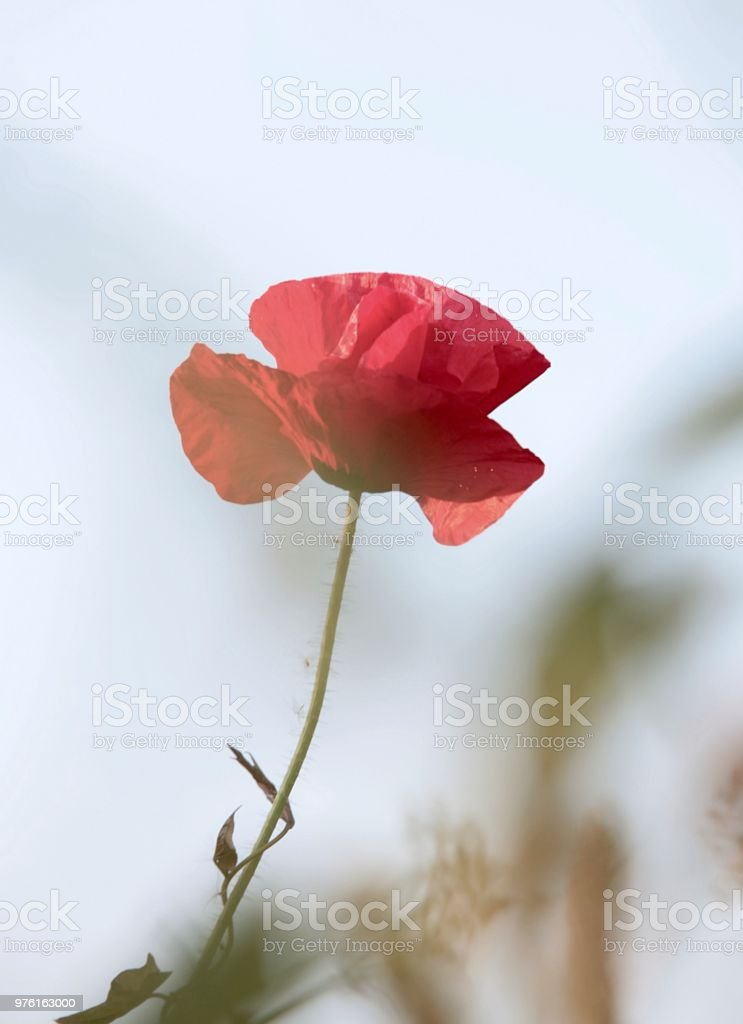 Red Poppy Flower Stock Photo Download Image Now Istock