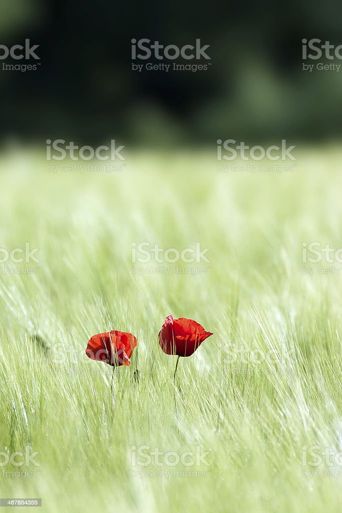 Red poppy flower with back light. royalty-free stock photo