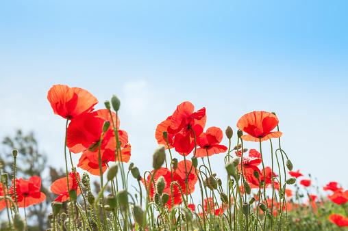 Red poppy flowers against the blue sky