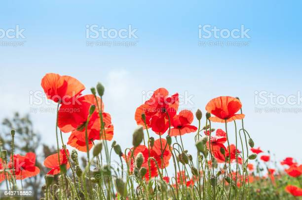 Red poppy flowers against the blue sky picture id643718852?b=1&k=6&m=643718852&s=612x612&h=ef82z64z1rbce0djfjgwz cyhsxsu0tl9sfohwte dc=
