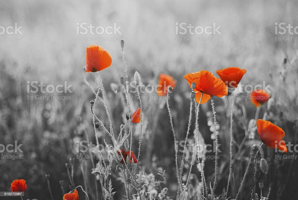 Red Poppy Flowers for Remembrance Day / Sunday stock photo
