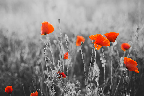 red poppy flowers for remembrance day / sunday - war memorial stock pictures, royalty-free photos & images