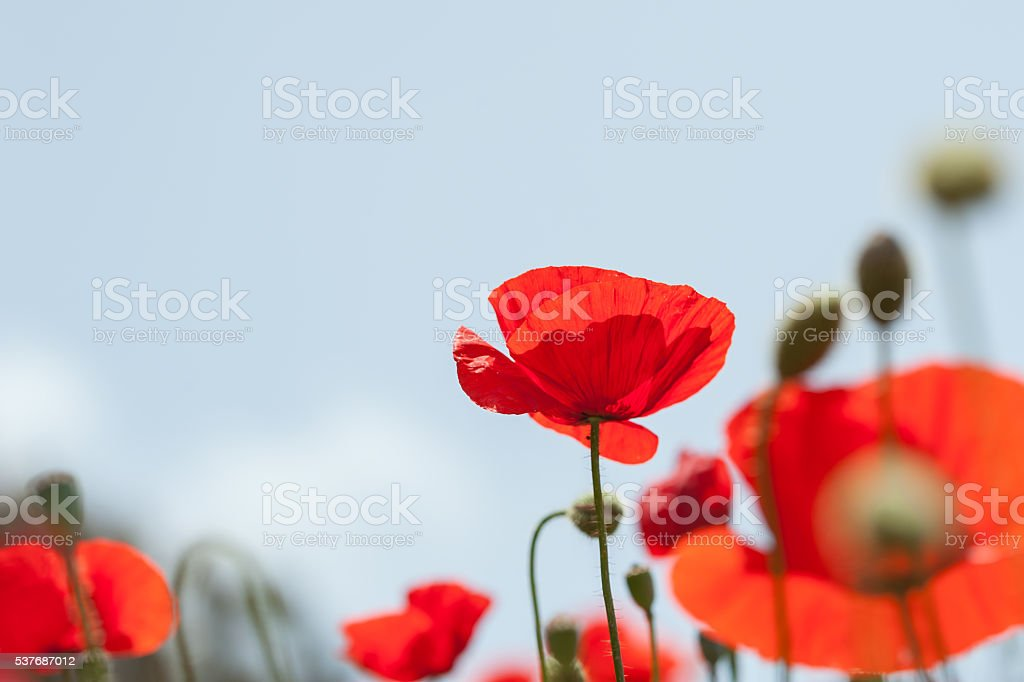 Red poppy flowers in a field. stock photo