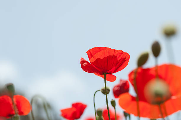 Royalty free poppy flower pictures images and stock photos istock red poppy flowers in a field stock photo mightylinksfo