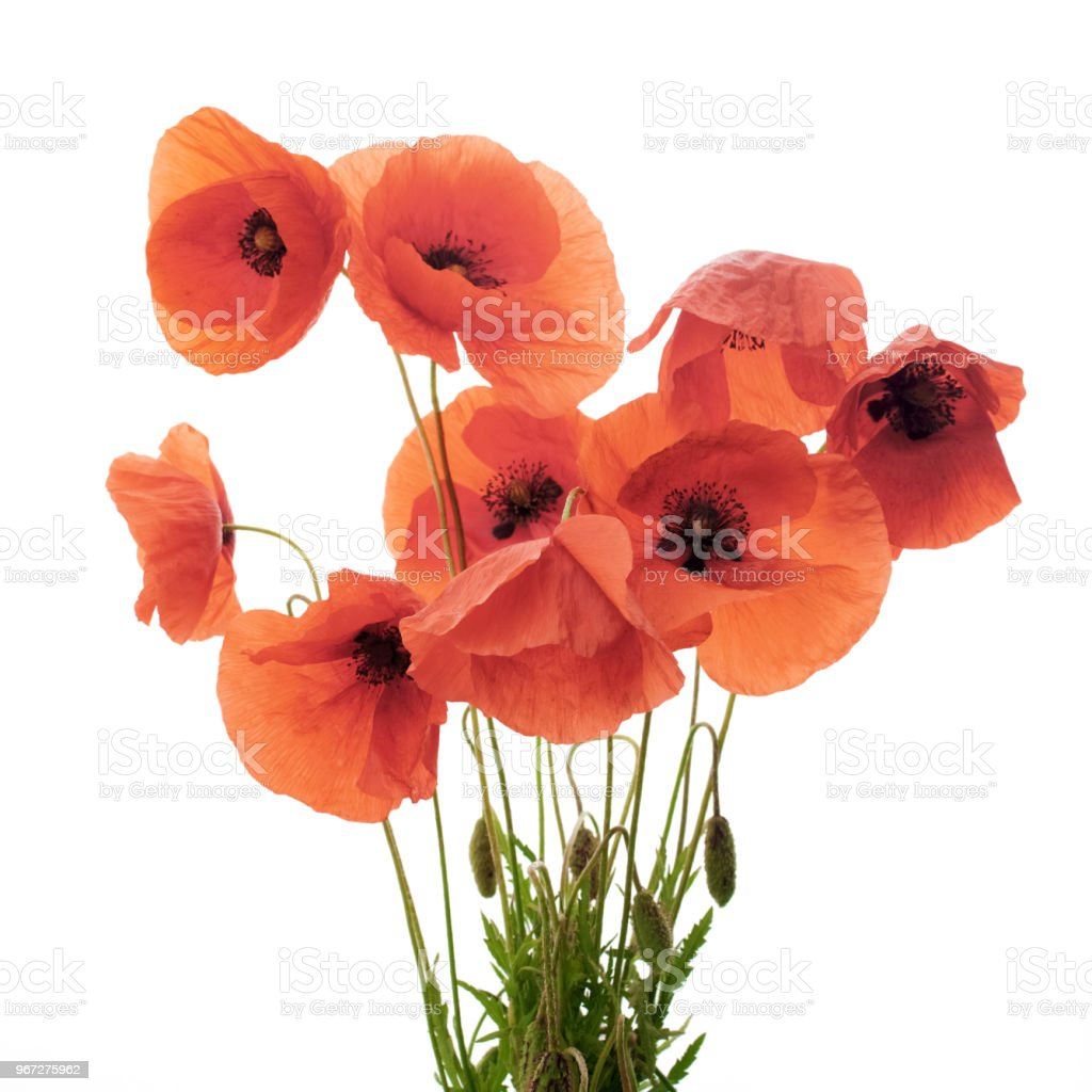 Red Poppy Flowers In A Row On White Stock Photo More Pictures Of