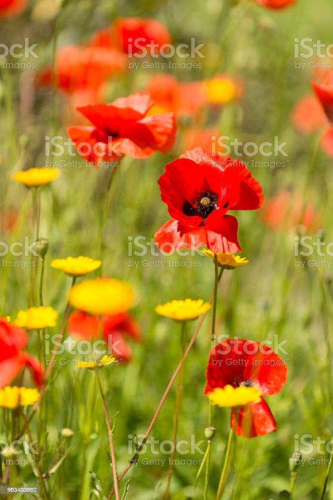 Czerwone kwiaty maku w lecie. - Zbiór zdjęć royalty-free (Bez ludzi)