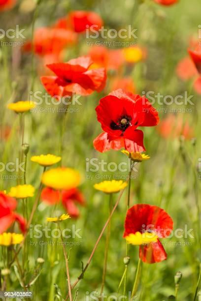 Czerwone Kwiaty Maku W Lecie - zdjęcia stockowe i więcej obrazów Bez ludzi