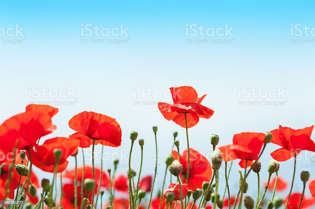 Red poppy flowers in the field. stock photo