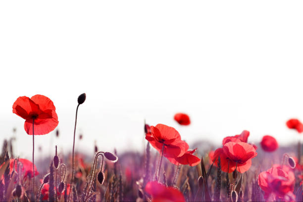 Red poppy flowers in the spring field. stock photo