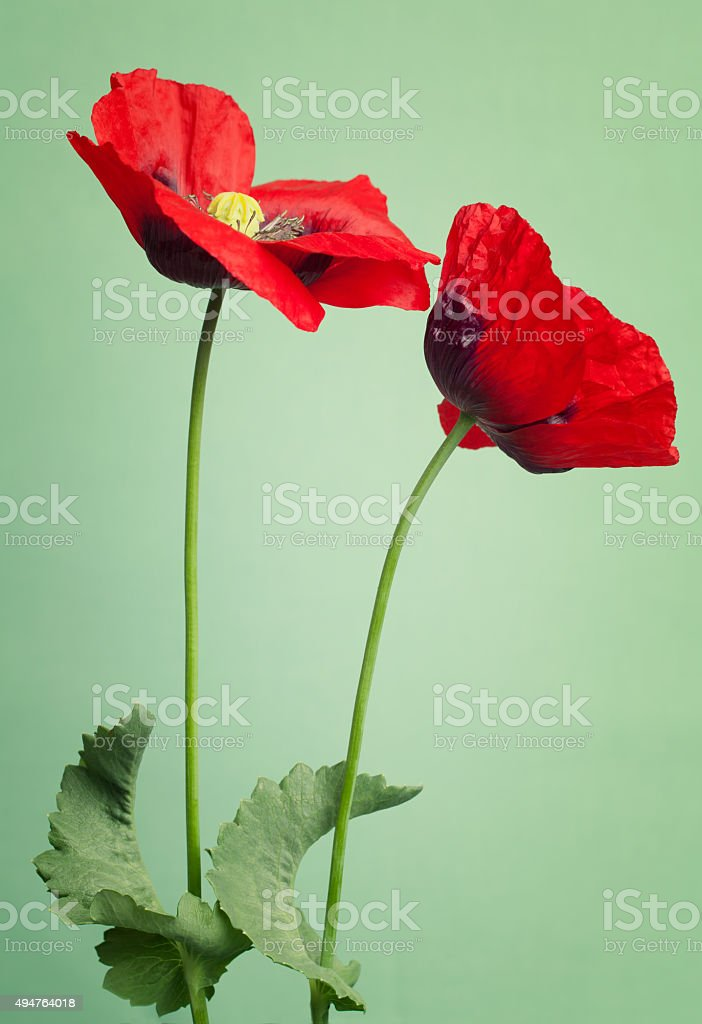 Red poppy flowers on a trendy green background stock photo