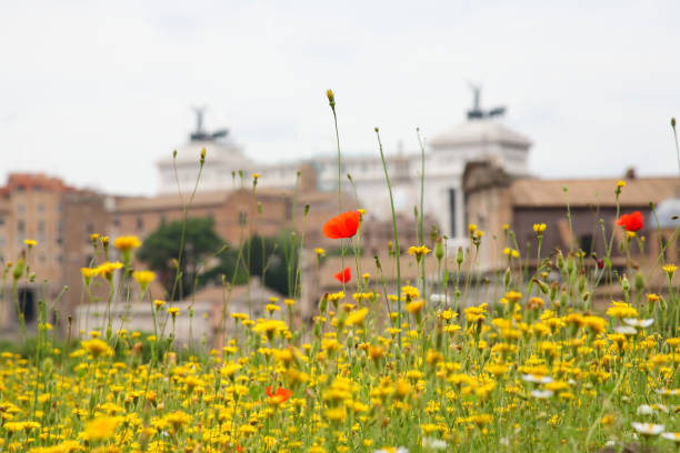 Red poppy flowers on background of Roman Forum stock photo