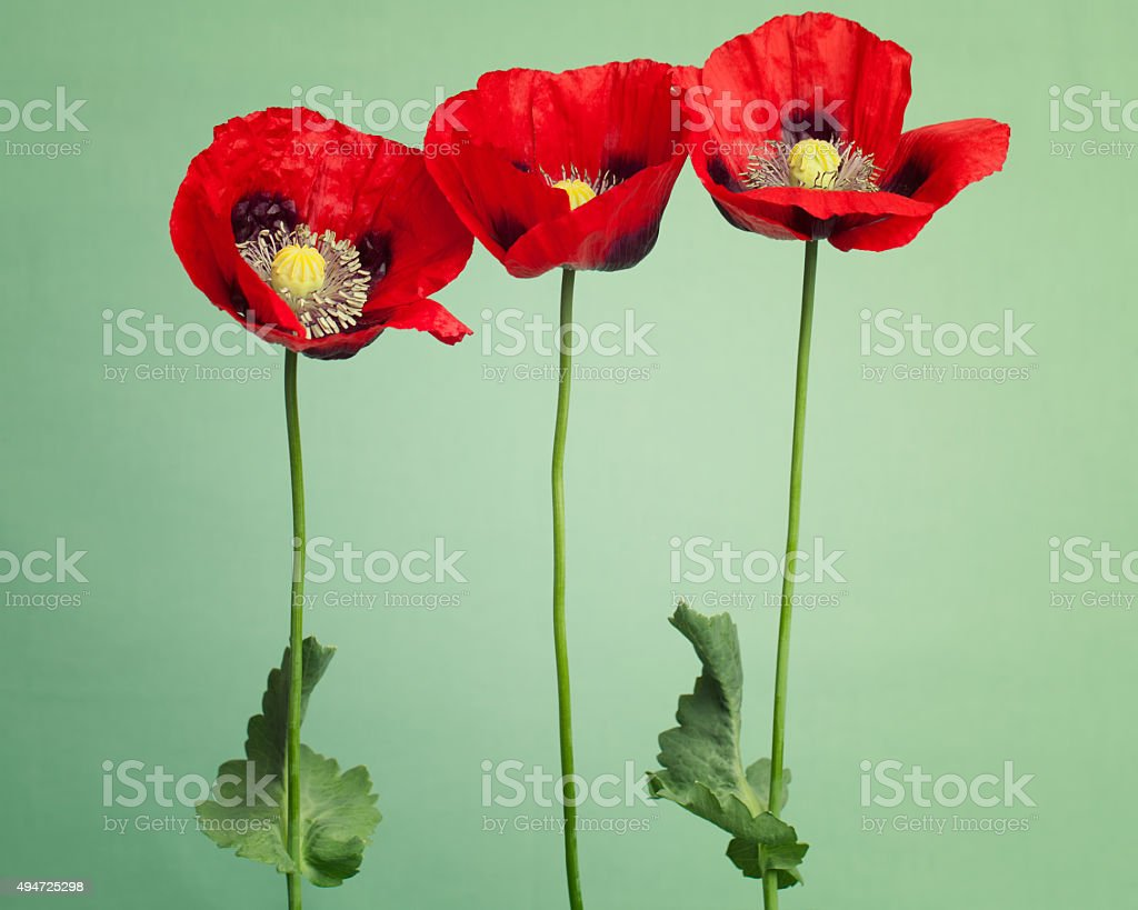 Red poppy flowers on light green vintage background stock photo