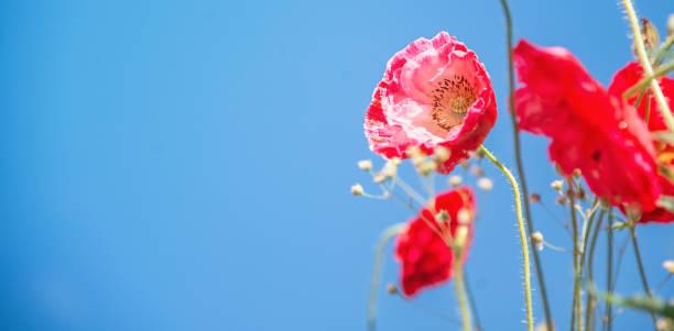 Red Poppy Flowers stock photo