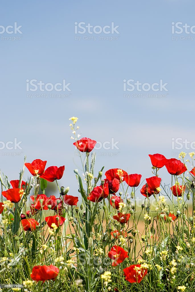 Red poppy flowers royalty-free stock photo