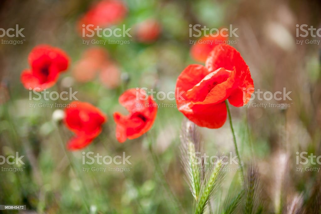 Red poppy flowers - Royalty-free Agricultural Field Stock Photo