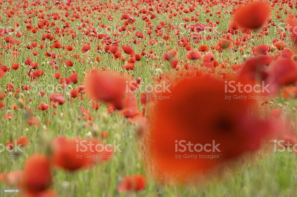 Red poppy flowers ( papaver rhoeas ) royalty-free stock photo