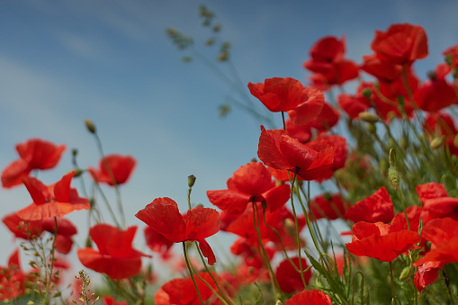 Red poppy flowers. Poppy flowers and blue sky in the near of munich bavaria germany