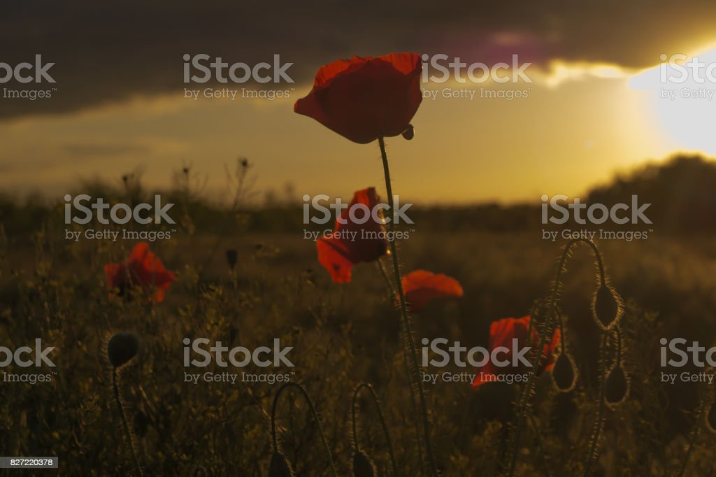 Red poppy grows on the field at the sunset stock photo