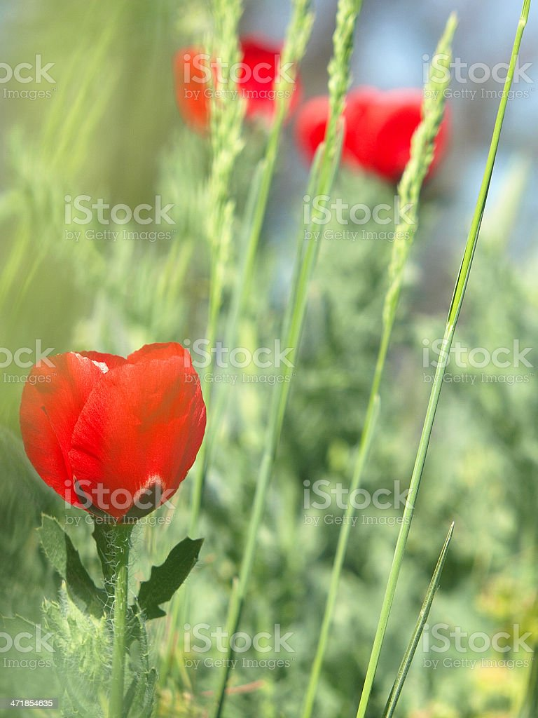 Red poppy in a dense green grass royalty-free stock photo