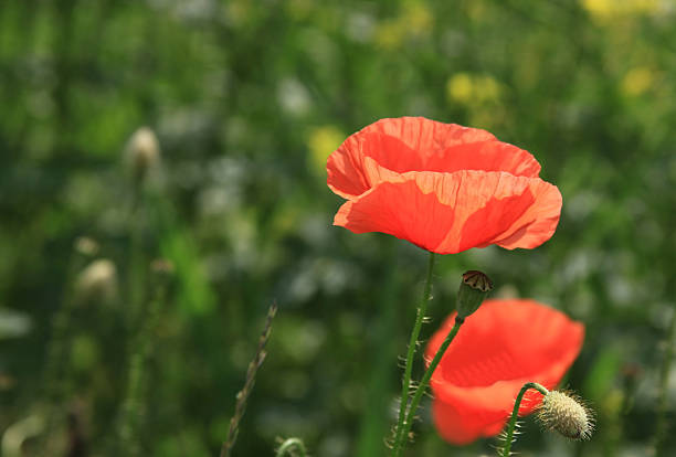 Red poppy in a green field stock photo