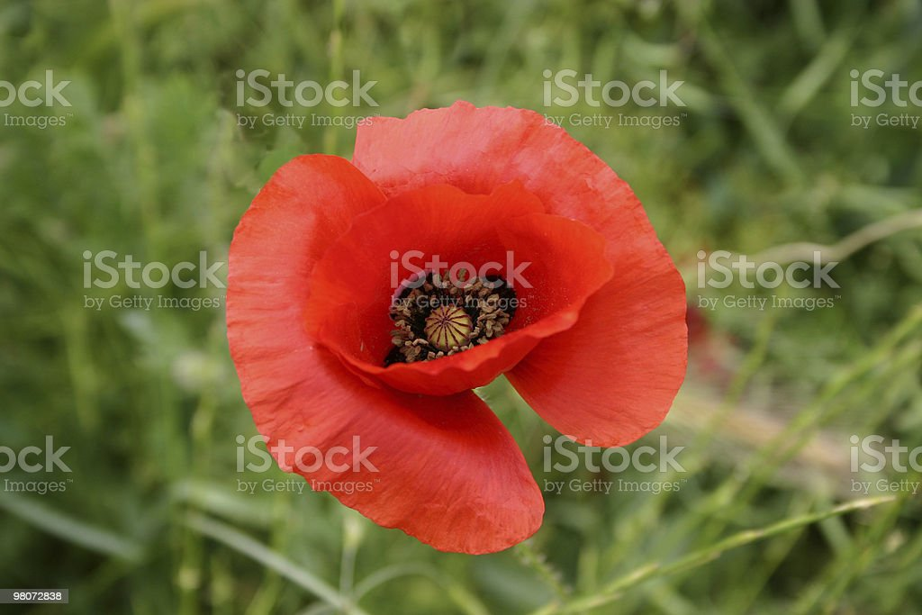 Red Poppy in a Green Field royalty-free stock photo