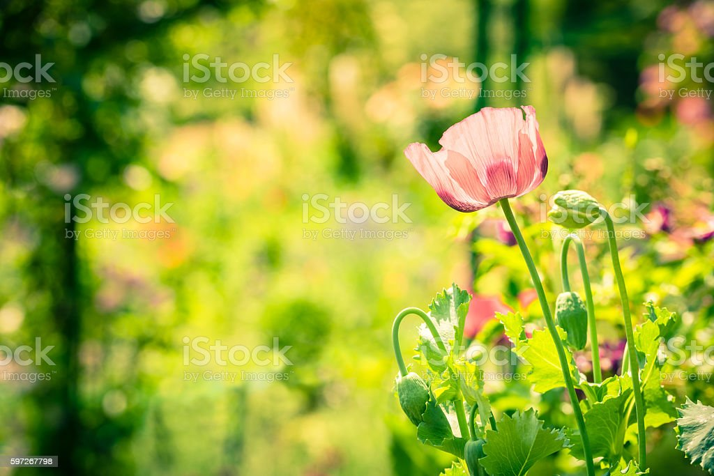 Red poppy in a summer meadow on sunny day royalty-free stock photo