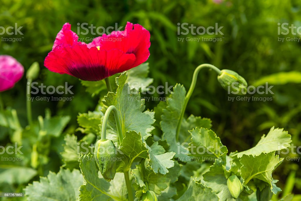 Red poppy in a summer meadow on sunny day Lizenzfreies stock-foto