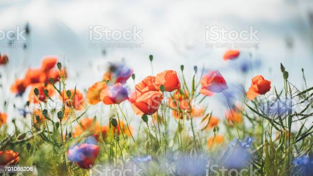 Red poppy in beautiful sunset light picture id701066206?b=1&k=6&m=701066206&s=612x612&h=vbw8aknkreqsy8jdsisz1 qko6ryd 1 hsbjeytwrj4=