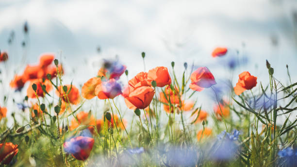 papoila vermelha na bela luz do sol - papoula planta - fotografias e filmes do acervo