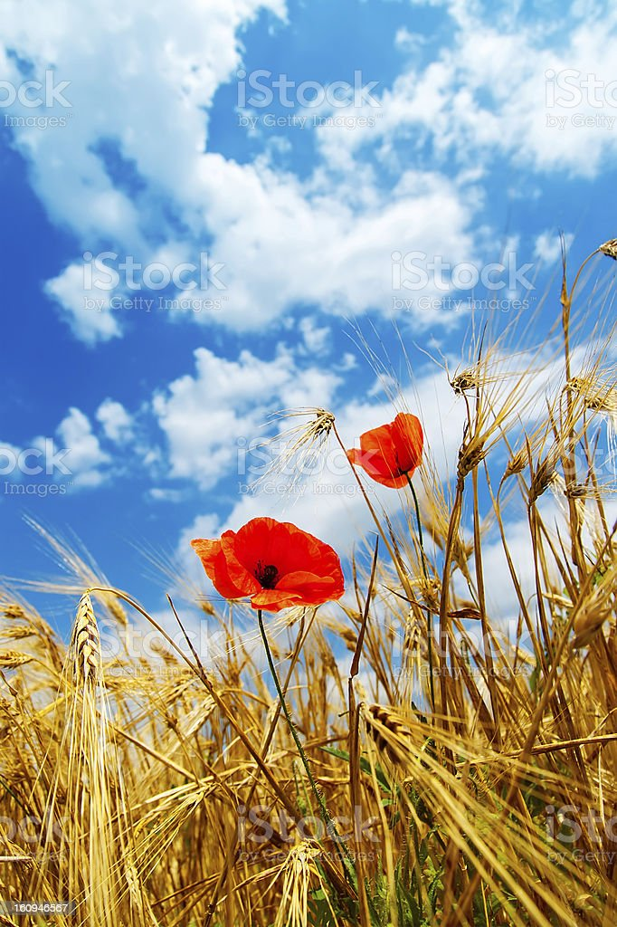 red poppy in golden field royalty-free stock photo