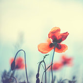Red Poppy in summer .