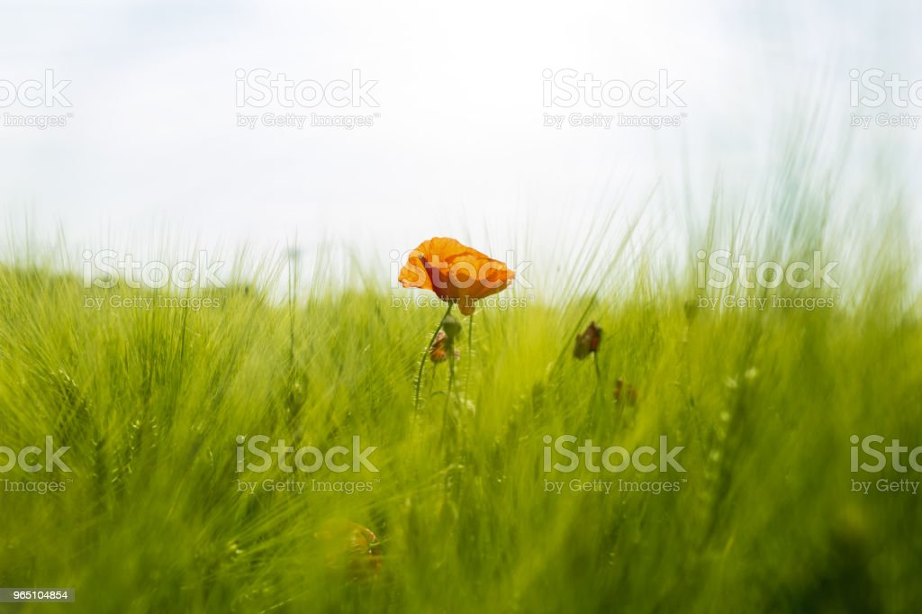 Red poppy in the sun royalty-free stock photo