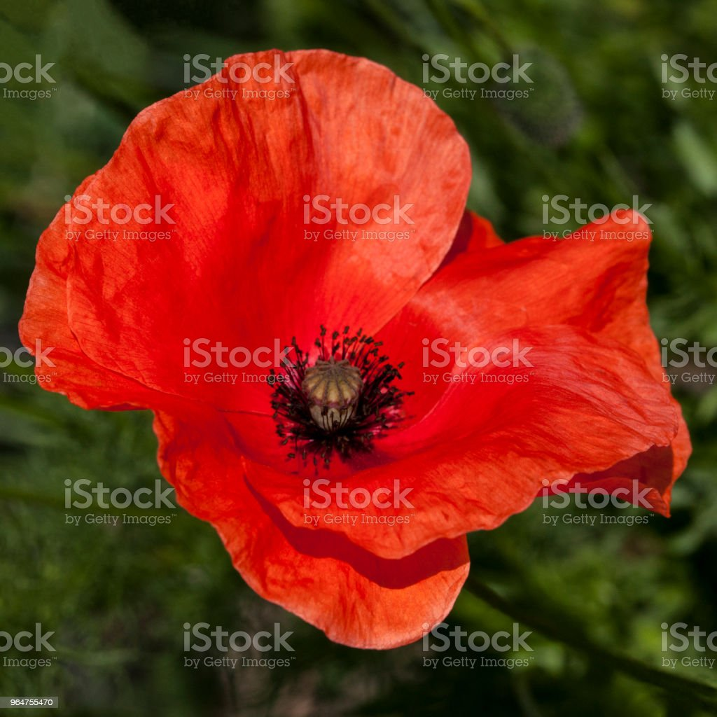 Red Poppy in Windy Day royalty-free stock photo