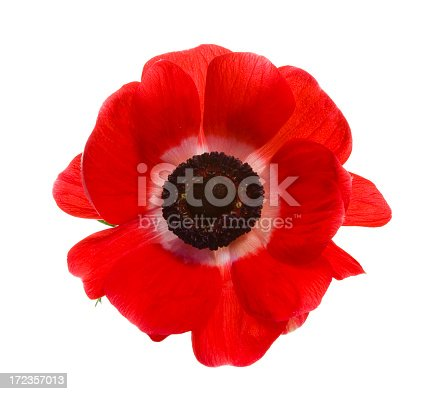 istock Red poppy isolated on a white background 172357013
