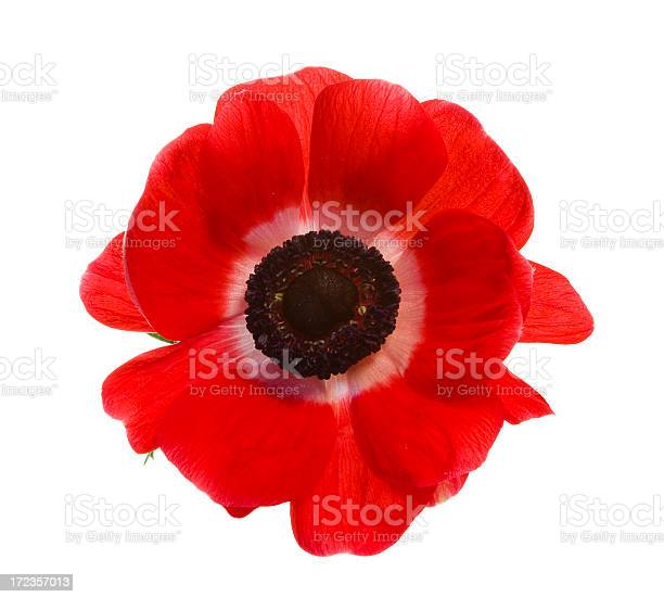 Red poppy isolated on a white background picture id172357013?b=1&k=6&m=172357013&s=612x612&h=wtwi10bxrhvoss0wfsmn7f45nzz sp8i1gkj2z2qub0=