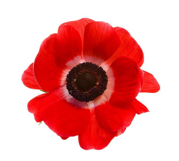 Red poppy isolated on a white background picture id172357013?b=1&k=6&m=172357013&s=612x612&w=0&h=dq6qrzz o kb43gpdav4wv06esnti g3em4yipvvywi=